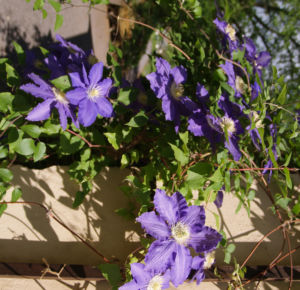 Klematis Kultivar Bluete gross blau 2 Clematis heracleifolia 06