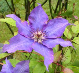 Klematis Kultivar Bluete gross blau Clematis 04
