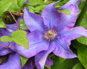 Klematis Kultivar Bluete gross blau Clematis 06