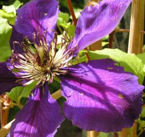 Klematis Kultivar Bluete gross blau Clematis 07