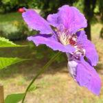 Klematis Kultivar Bluete gross blau Clematis 09