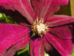 Bild: Klematis Kultivar Blüte purpur Clematis