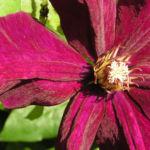 Klematis Kultivar Bluete gross purpur Clematis 05
