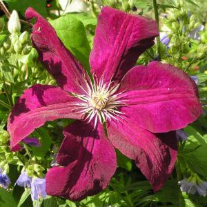 Klematis Kultivar Bluete gross purpur Clematis 06
