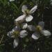 Zurück zum kompletten Bilderset Klematis Clematis montana