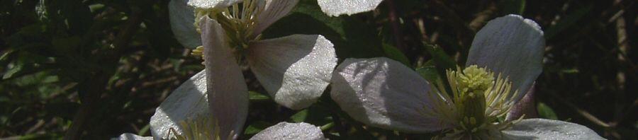 Anklicken um das ganze Bild zu sehen Klematis Clematis montana