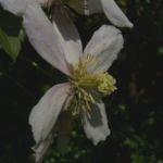 Klematis Clematis montana 04