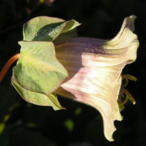 Kletternde Glockenrebe Bluete pink Cobeaa scandens 03
