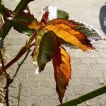 Kletterrose Blatt Rosa 03