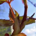Kletterrose Blatt Rosa 06