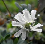 Klippen Leimkraut Bluete weiß Silene uniflora 02