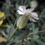 Klippen Leimkraut Bluete weiß Silene uniflora 06