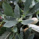 Bild: Klippen-Leimkraut Blüte weiß Silene uniflora