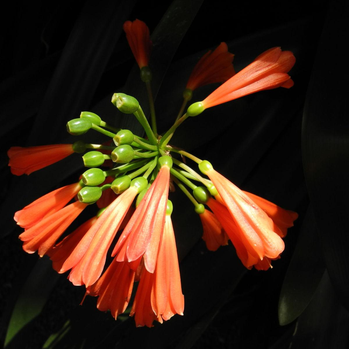 Klivia Bluete orange Clivia nobilis