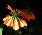 Bild: Klivia Blüte orange Clivia nobilis
