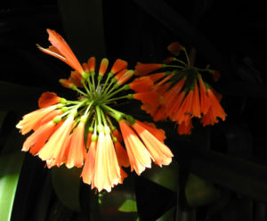 Klivia Blüte orange Clivia nobilis
