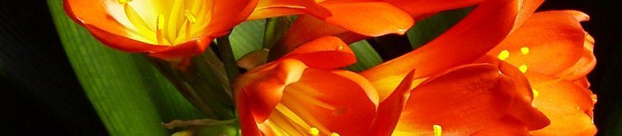 Anklicken um das ganze Bild zu sehen Klivie Riemenblatt Blüte rot orange Clivia miniata