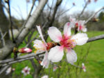 Knack Mandel Bluete weiß Prunus dulcis 02