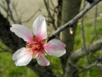 Knack Mandel Bluete weiß Prunus dulcis 04
