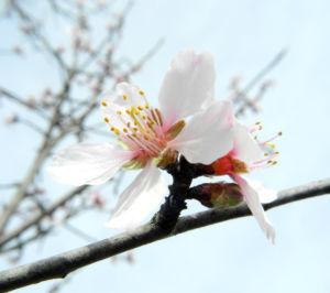 Knack Mandel Bluete weiß Prunus dulcis 06