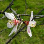 Knack Mandel Bluete weiß Prunus dulcis 07
