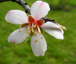 Knack Mandel Bluete weiß Prunus dulcis 08