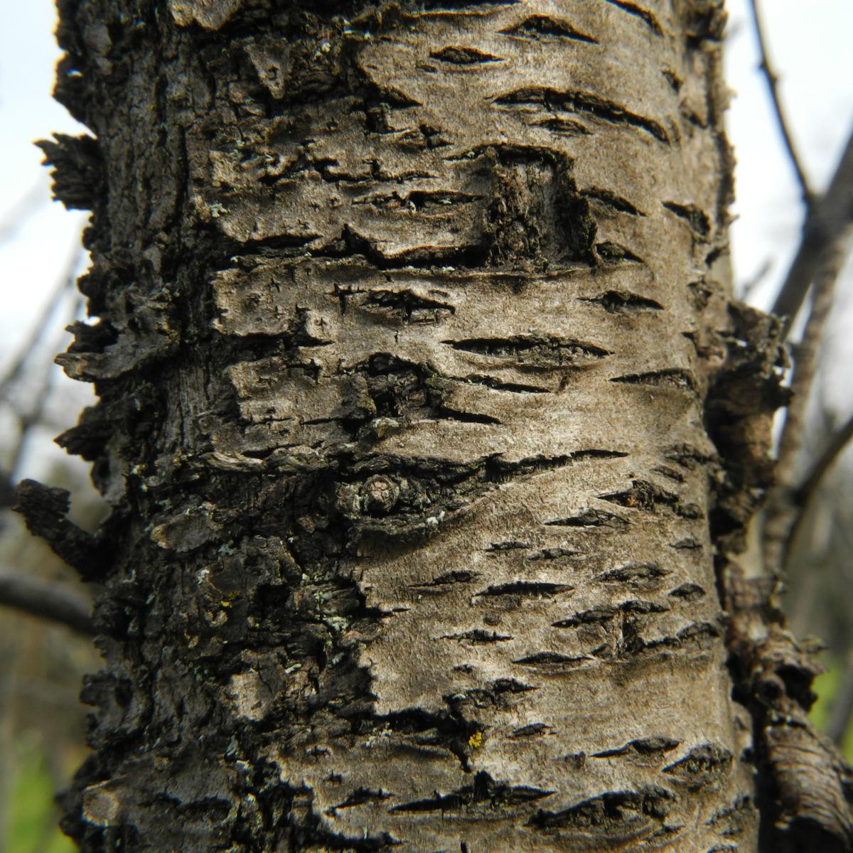 Knack Mandel Rinde braun Prunus dulcis