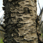 Bild:  Mandelbaum Blüte weiß Prunus dulcis