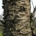 Zurück zum kompletten Bilderset Mandelbaum Blüte weiß Prunus dulcis