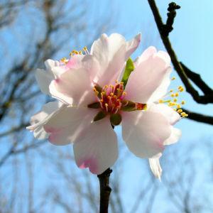 Knackmandel Baum Bluete weiss Prunus dulcis 02