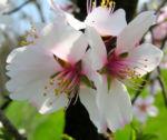 Knackmandel Baum Bluete weiss Prunus dulcis 04