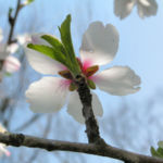 Knackmandel Baum Bluete weiss Prunus dulcis 05