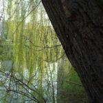 Knackweide Bruchweide Salix fragilis 01