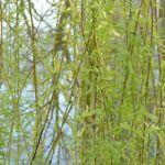 Knackweide Bruchweide Salix fragilis 02