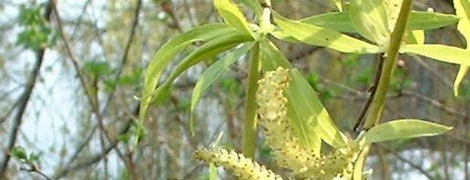 Anklicken um das ganze Bild zu sehen  Knackweide Bruchweide Salix fragilis