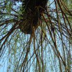 Knackweide Bruchweide Salix fragilis 04