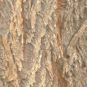 Knackweide Bruchweide Salix fragilis 05