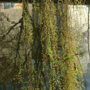 Knackweide Bruchweide Salix fragilis 06