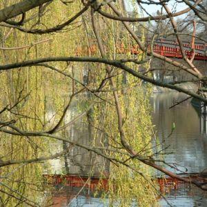 Knackweide Bruchweide Salix fragilis 07
