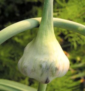 Knoblauch Samenkapsel Allium sativum 03