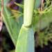 Zurück zum kompletten Bilderset Knoblauch Samenkapsel - Allium sativum
