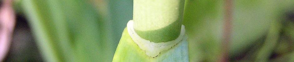 Anklicken um das ganze Bild zu sehen Knoblauch Samenkapsel - Allium sativum