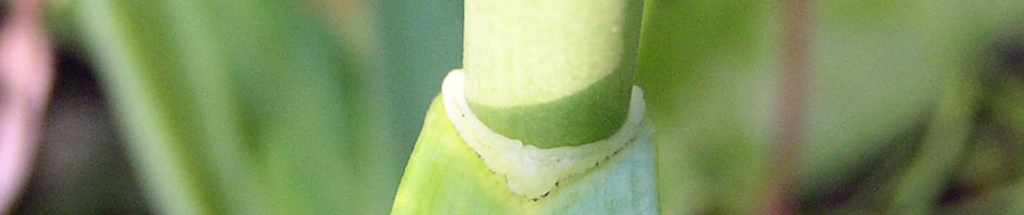 knoblauch-samenkapsel-allium-sativum