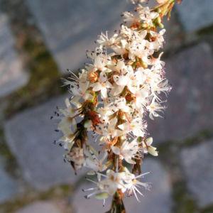 Knoeterich Bluete weiss Persicaria amplexicaule 01