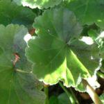 Knollen Begonie Bluete orange Begonia tuberhybrida 01