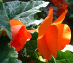 Knollen Begonie Bluete orange Begonia tuberhybrida 03