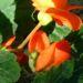 Zurück zum kompletten Bilderset Knollenbegonien Blüte orange Begonia tuberhybrida