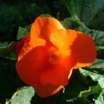 Knollen Begonie Bluete orange Begonia tuberhybrida 07