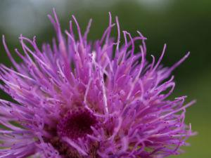 Knollen Kratzdistel Bluete pink Cirsium tuberosum 03