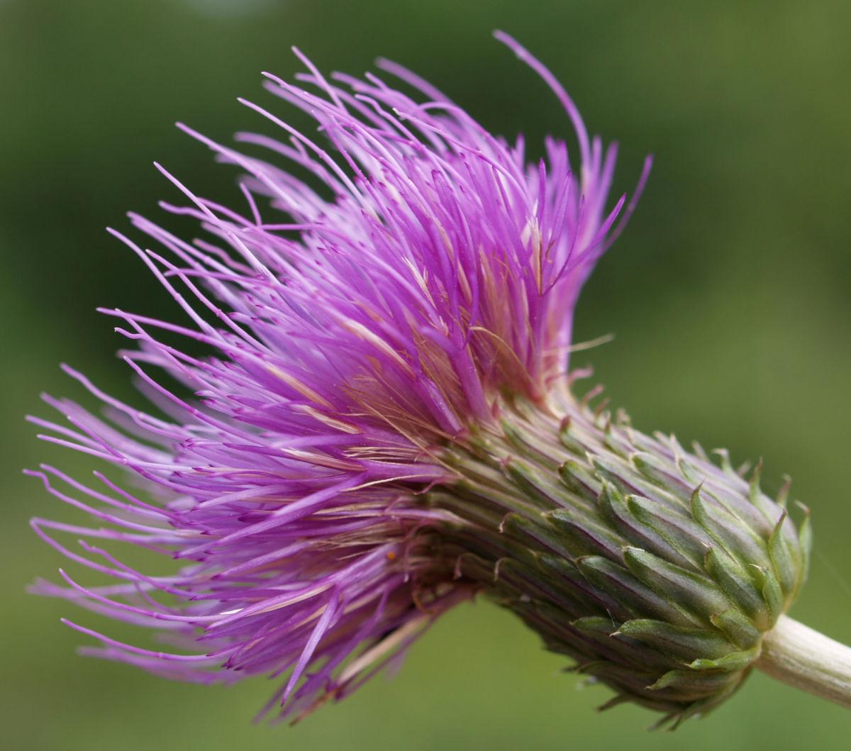 Knollen Kratzdistel Bluete pink Cirsium tuberosum